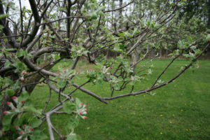 Heirloom Apple Trees photo