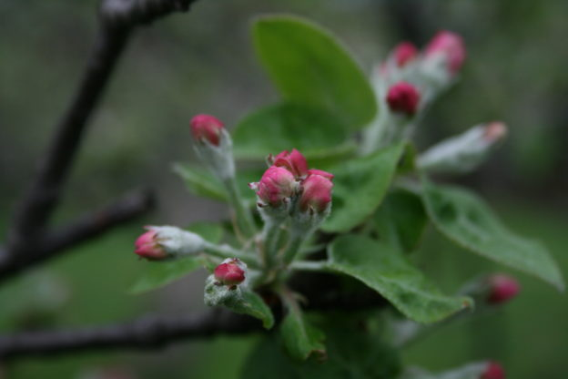 Heirloom Apple Blossoms Photo